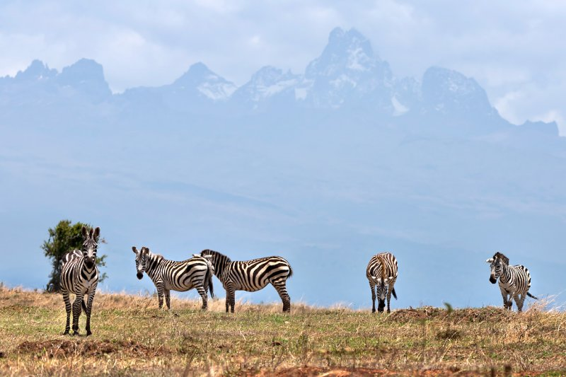 Zebra with Mount Kenya beyond