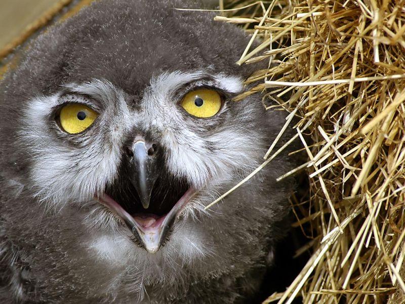 Baby owl, Bossington
