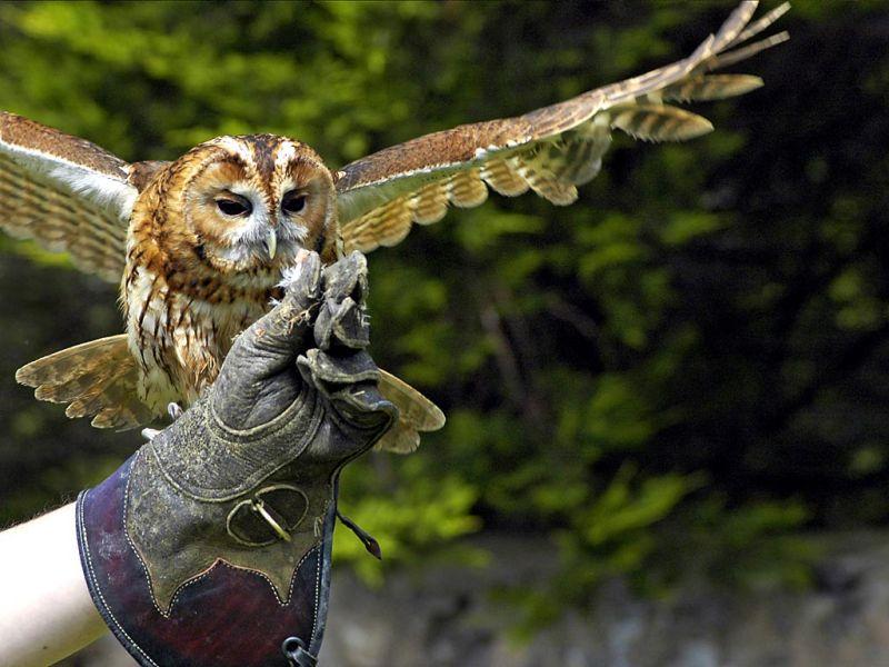 Tawny spreads its wings, Bossington