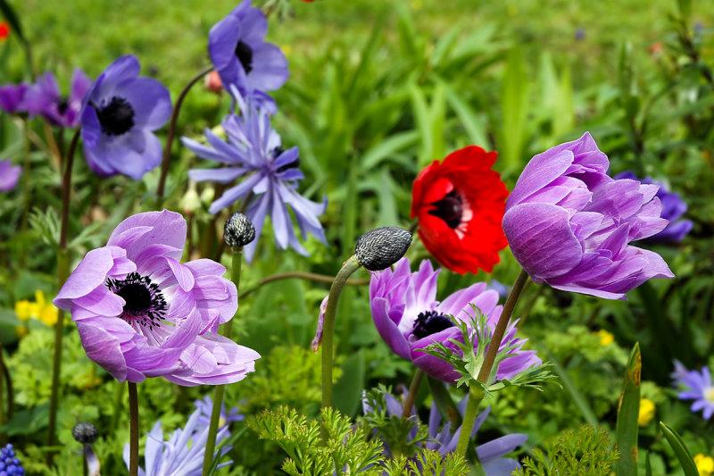 Anemones, Chalice Well garden (6572)