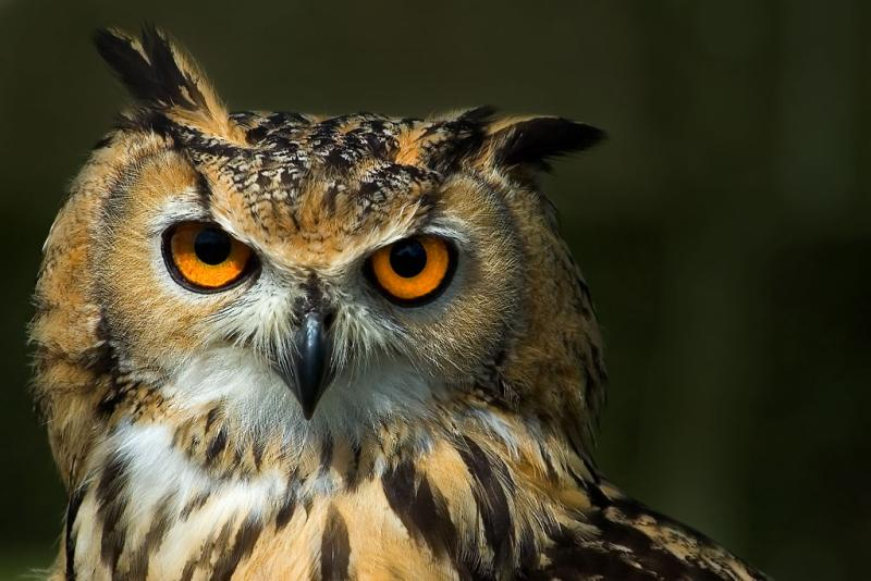 Indian Eagle Owl, Kingston Maurwood