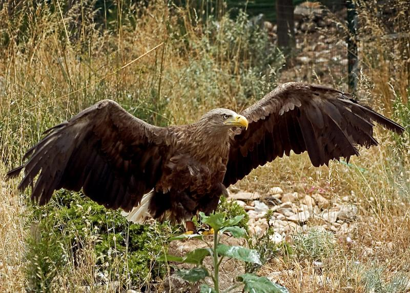 Golden eagle spreads its wings, Benalmadena (2223)