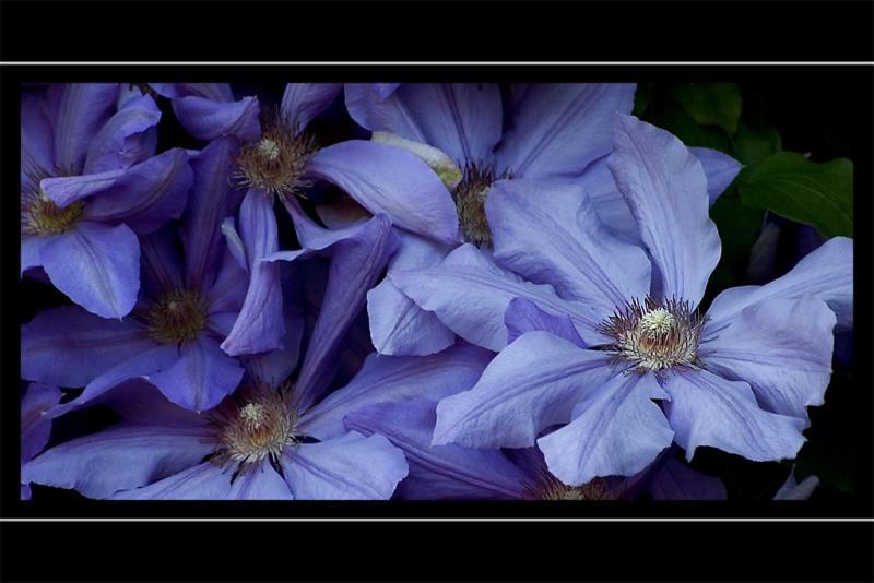 Powder blue clematis,  Stoke-sub-Hamdon