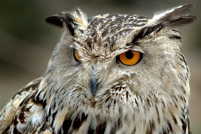 Eagle owl, Benalmadena