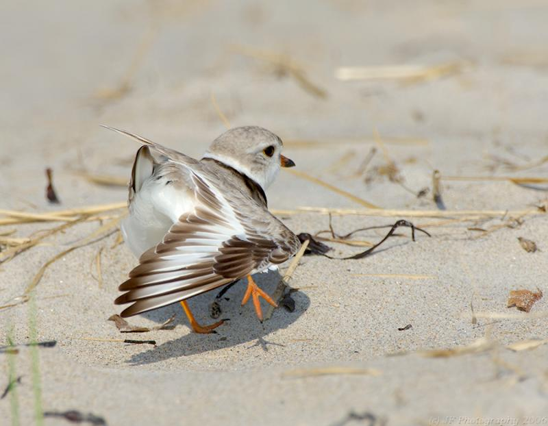 JFF4145 Piping Plover Morning Stretch