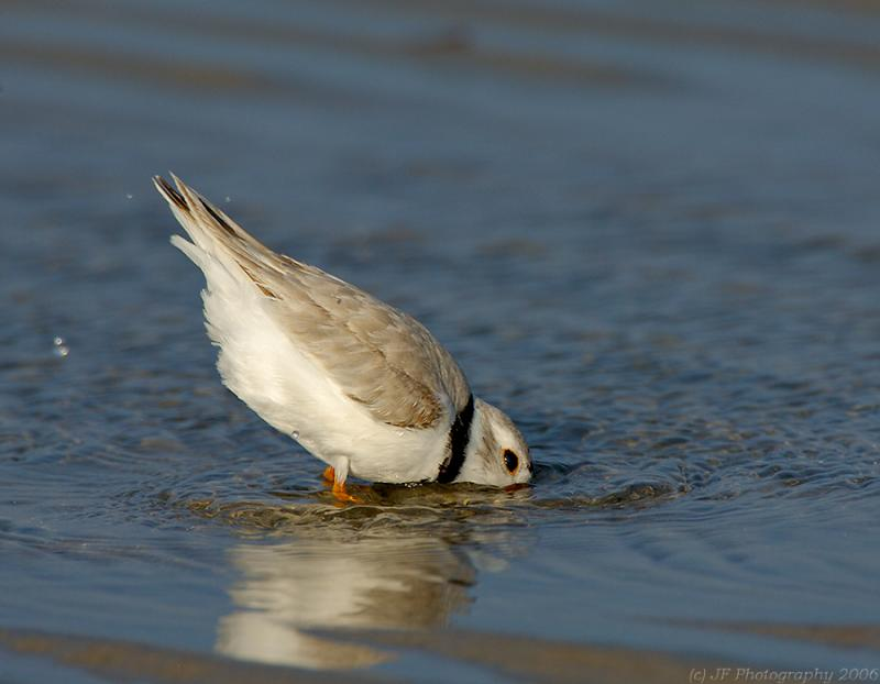 JFF5170 Piping Plover Bathing