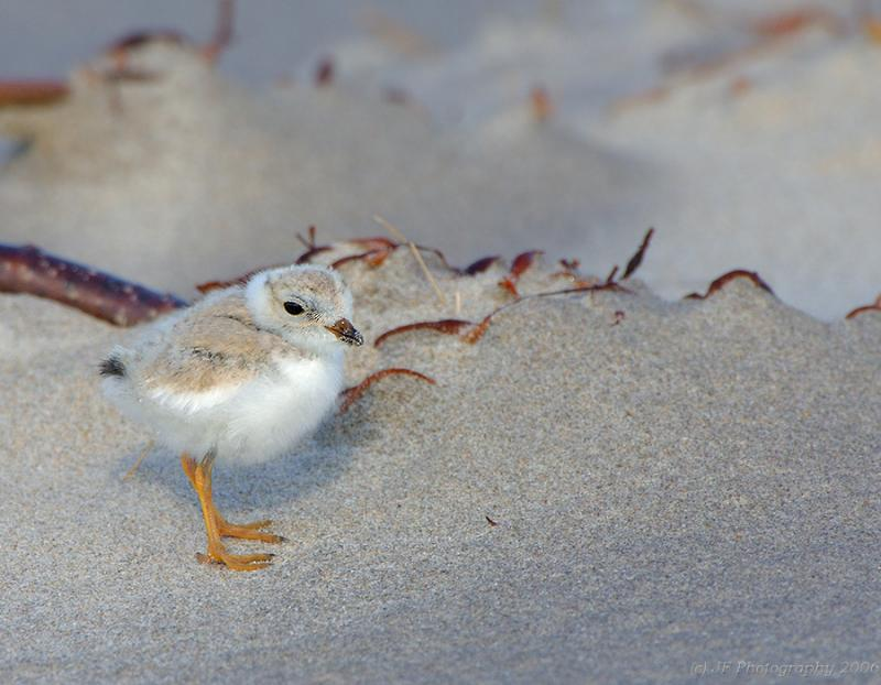 JFF8001 Piping Plover Chick 4