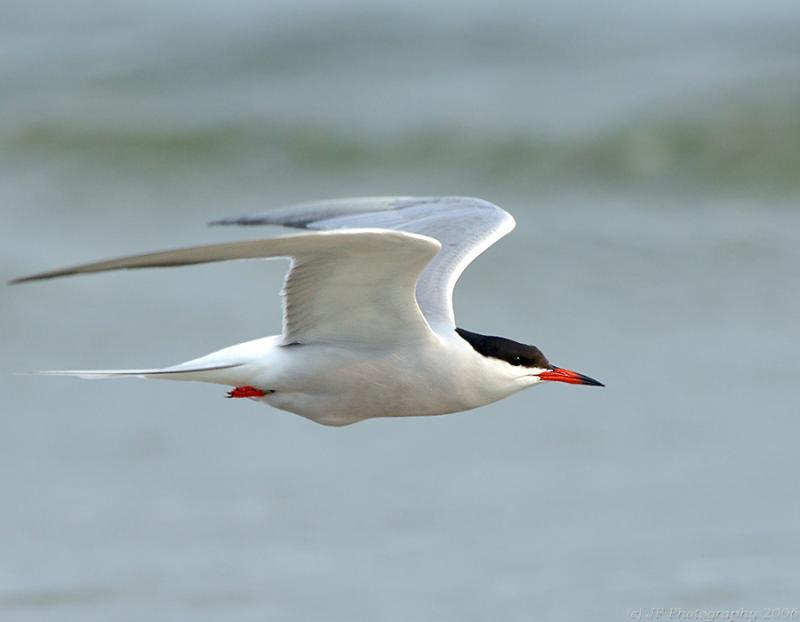 228 _JFF7480 Common Tern in Flight