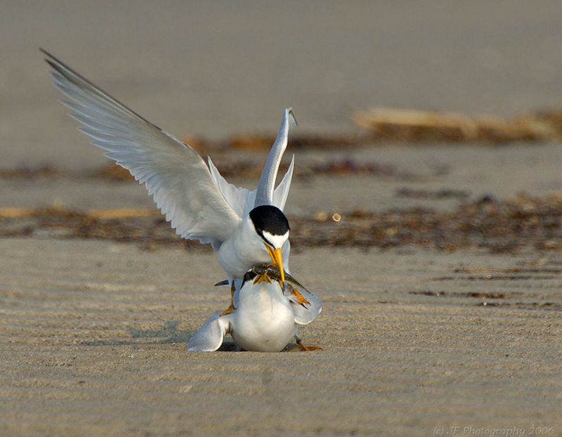 231 _JFF7548 Least Terns Mating ~ The Exchange