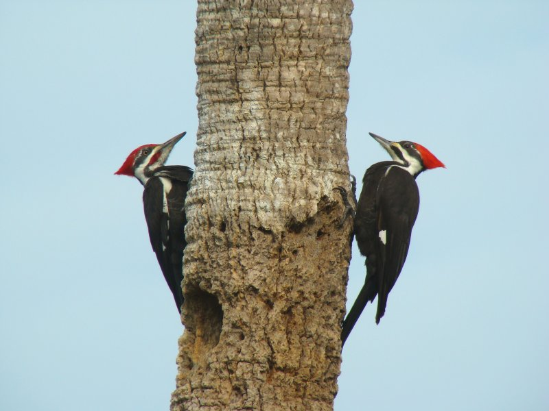 Pileated Woodpeckers 1