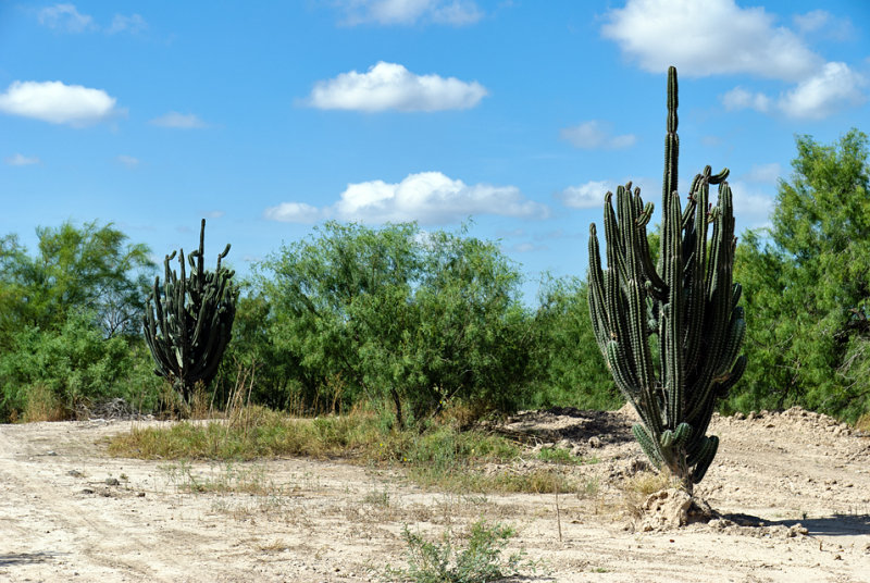 Xeric vegetation Los Ebanos Texas
