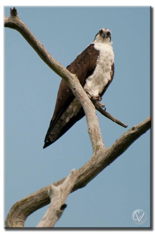 Aigle pecheur - Osprey