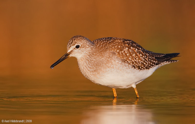 LesserYellowlegs08c6584.jpg