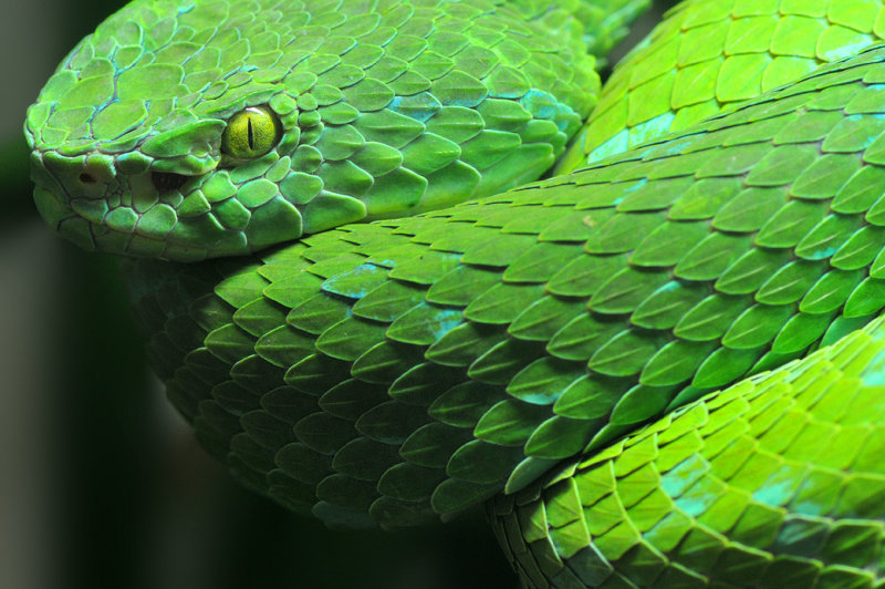 Mexican Palm Pit Viper