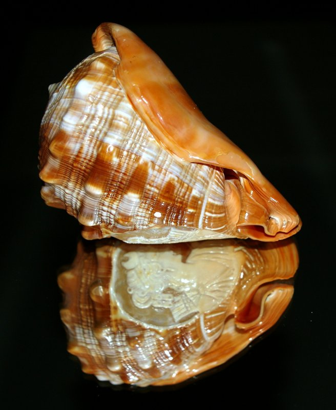 Conch Shell sitting on mirrored chest
