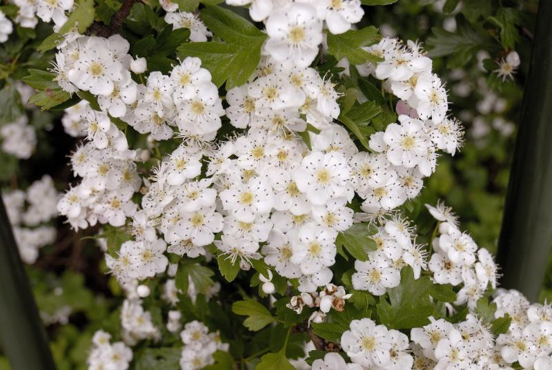 Rosebud blossom