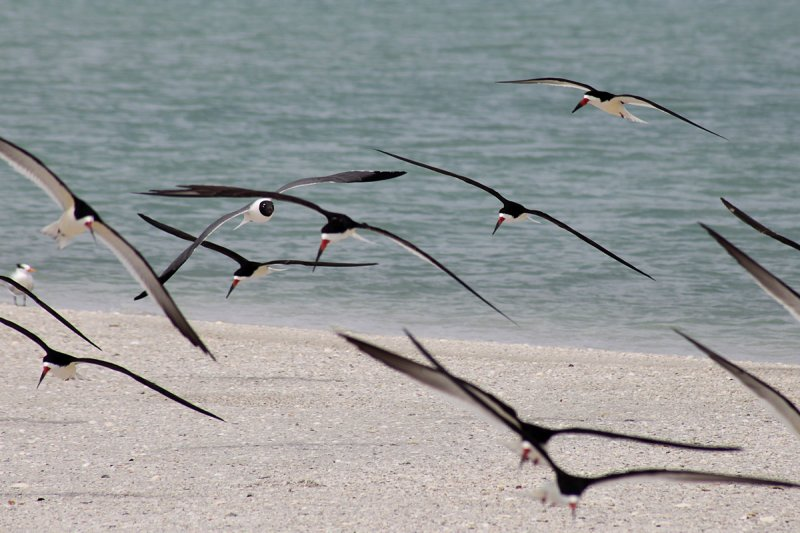 Black skimmers and one laughing gull (top-left quadrant)