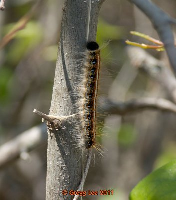 Malacosoma americanum - Eastern Tent Caterpillar Moth