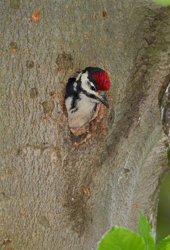 Fledgling Great Spotted Woodpecker