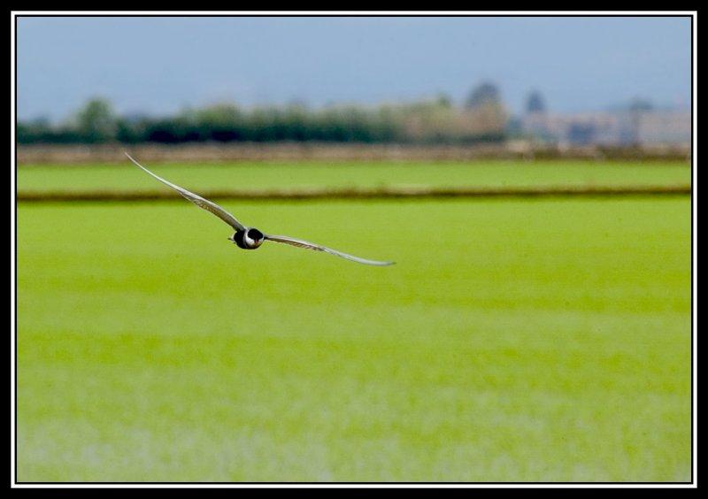 Pajaro sobre el arrozal  -  Bird over rice paddy