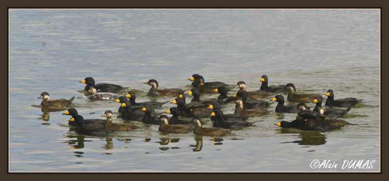 Macreuse Noirs - Black Scoters