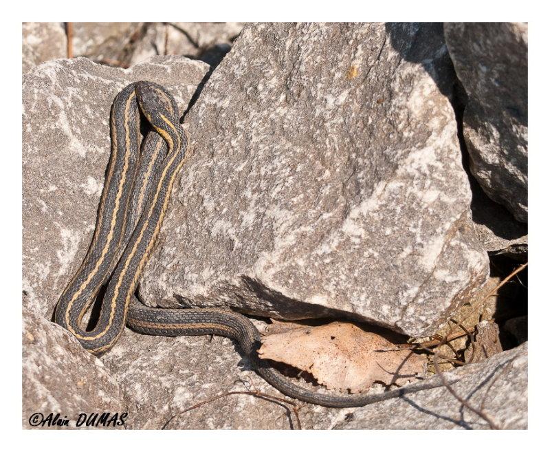 Couleuvre rayée de lEst- Common Garter Snake