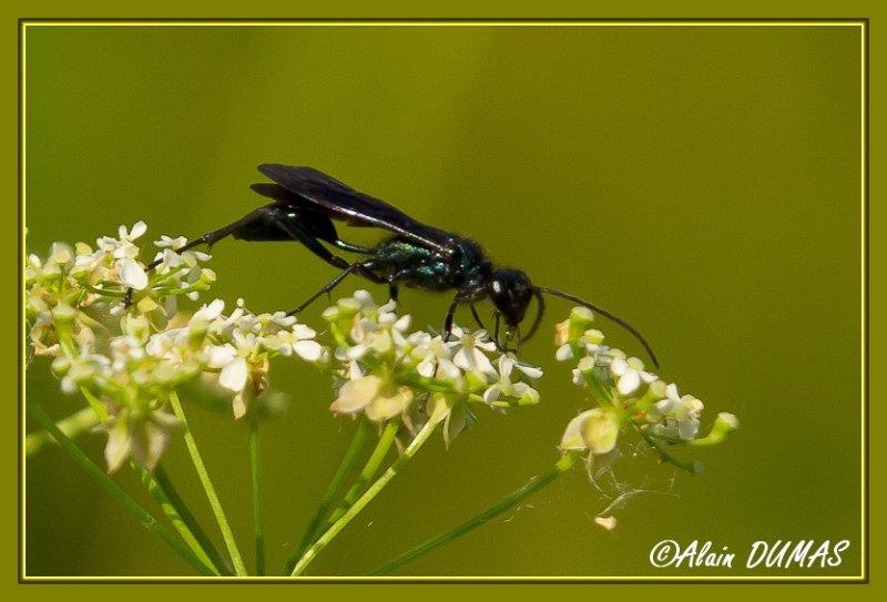 Potière Bleue - Blue Mud Wasp