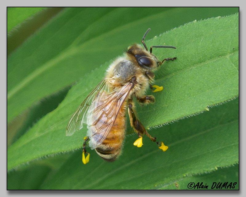 Hyménoptère - Hymenoptera