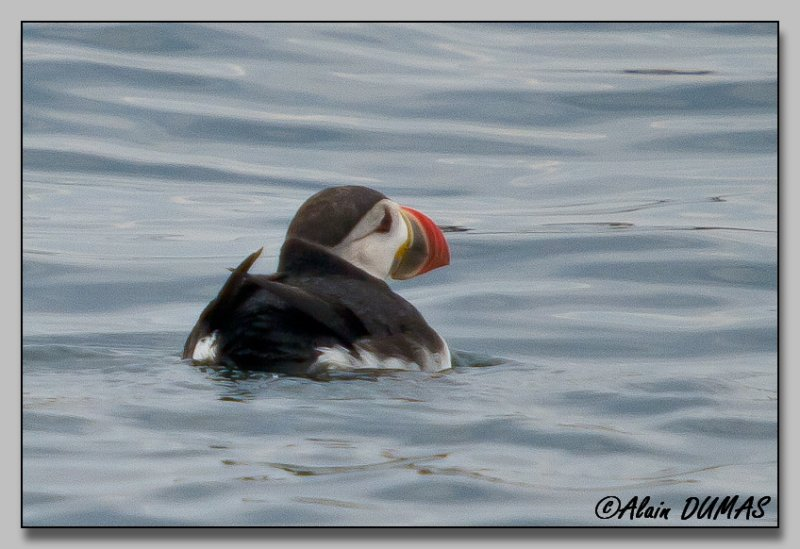 Macareux Moine - Atlantic Puffin