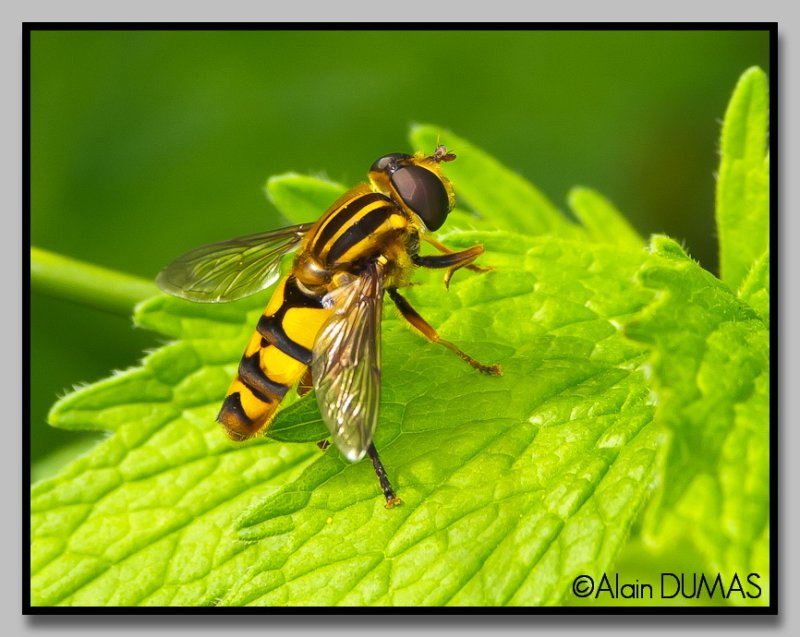 Grand Syrphide à bandes thoraciques - Stripped large syrphid