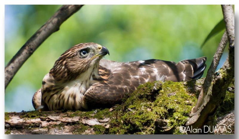Épervier de Cooper Juvénile - Juvenile Coopers Hawk