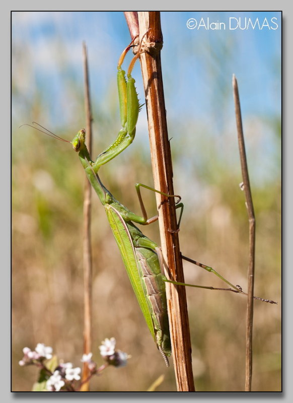 Mante Femelle - Female Mantid