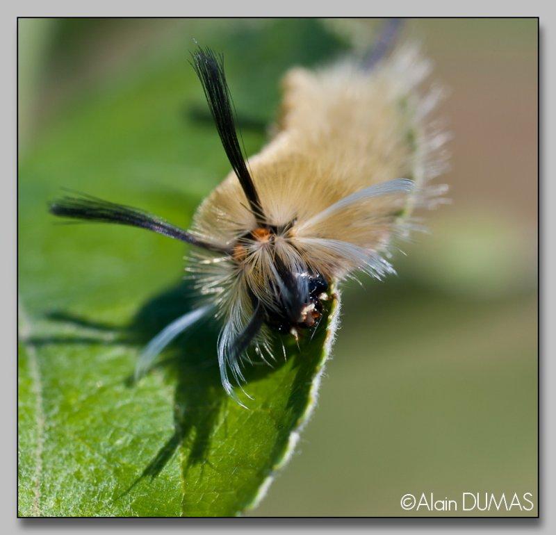 Chenille de lhalisidote du pommier - Banded tussock moth caterpillar