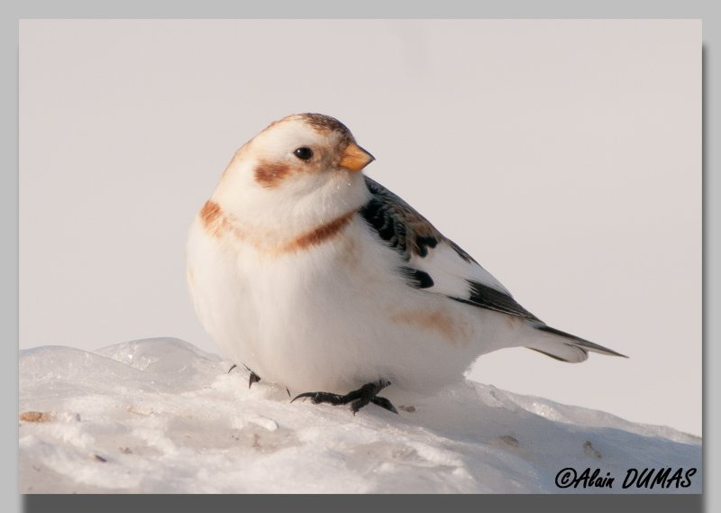 Plectrophane des neiges - Snow Bunting