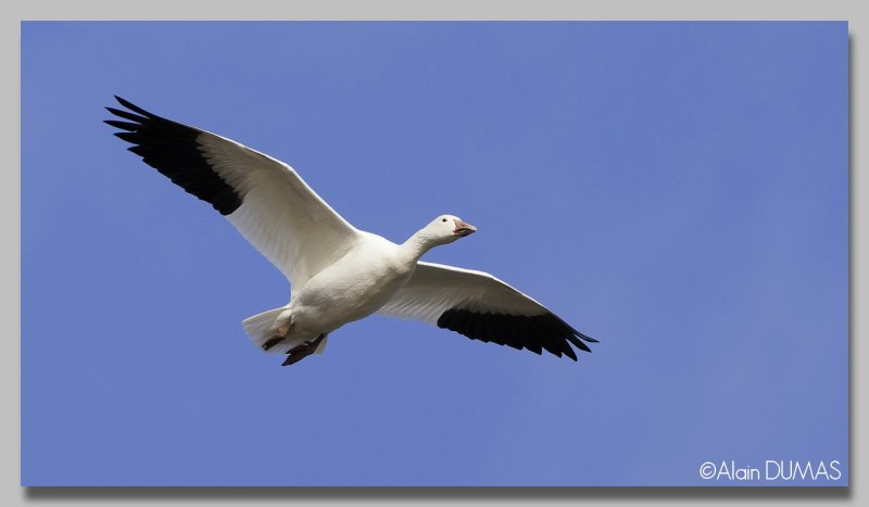 Oie des Neiges - Snow Goose