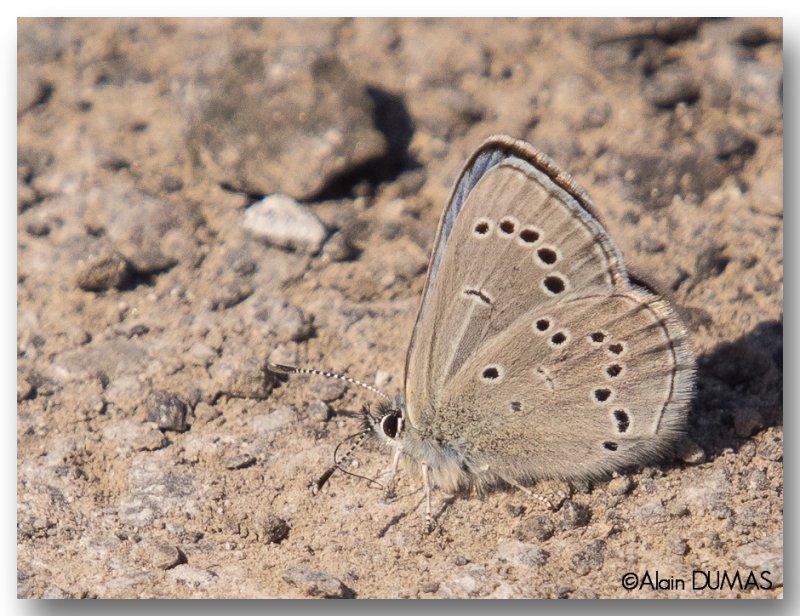 Bleu Argenté - Silver Blue