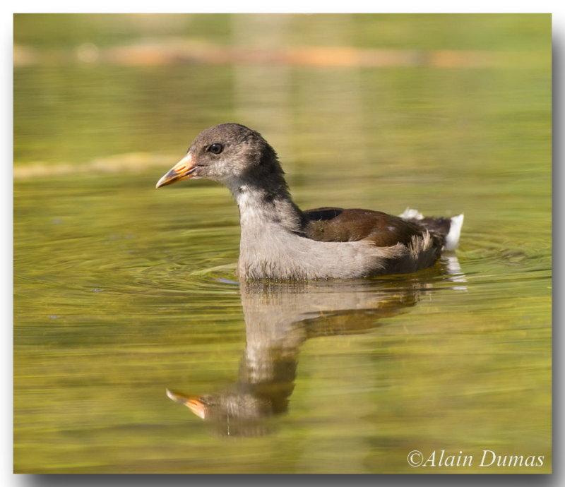 Poule deau juvénile Juvenile Common Moorhen