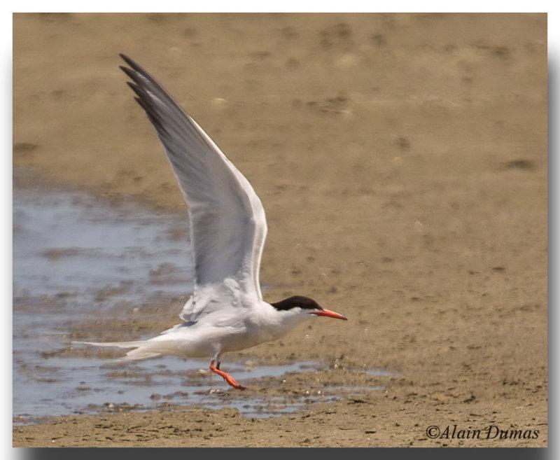 Stene Artique - Artic Tern