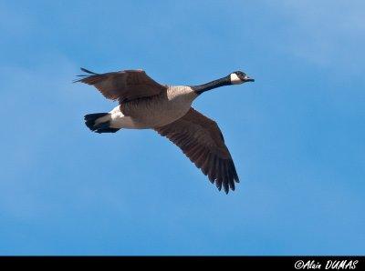 Bernache - Canadian Goose