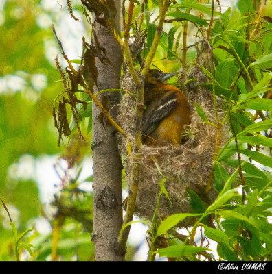 Oriole du Nord Mâle batissant le nid - Male Norther Oriole building nest