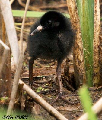 Poussin Râle de Virginie - Virginia Rail Chick