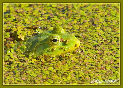 Ouaouaron - American Bullfrog