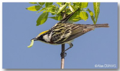 Paruline à flancs maron mâle - Male Chestnut-sided warbler