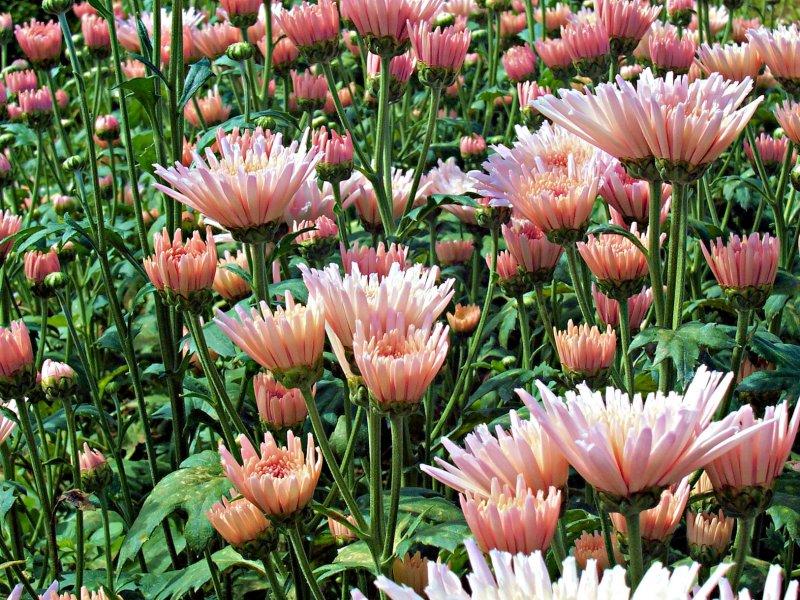 Baguio Blooms.JPG
