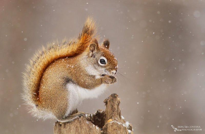 American red squirrel, Écureuil roux américain (Tamiasciurus hudsonicus)