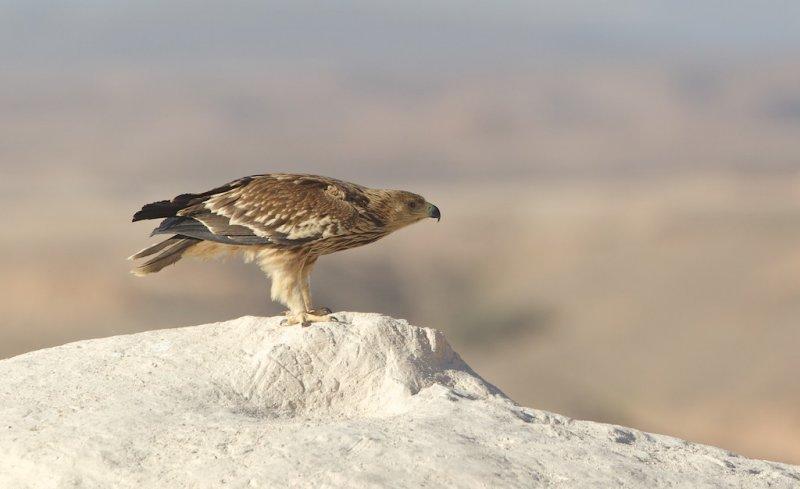 Keizerarend/Imperial Eagle