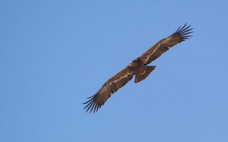 Steppearend/Steppe-eagle