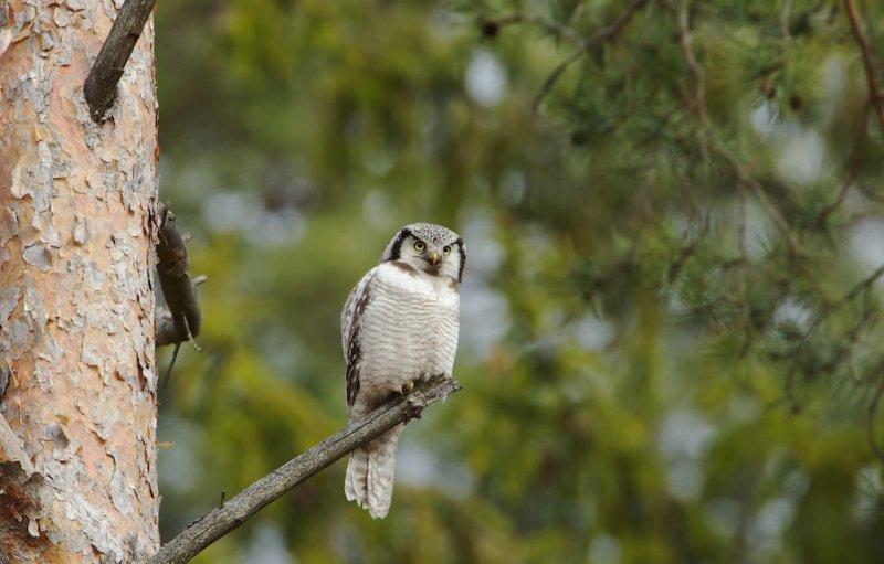 Sperweruil/Hawk Owl