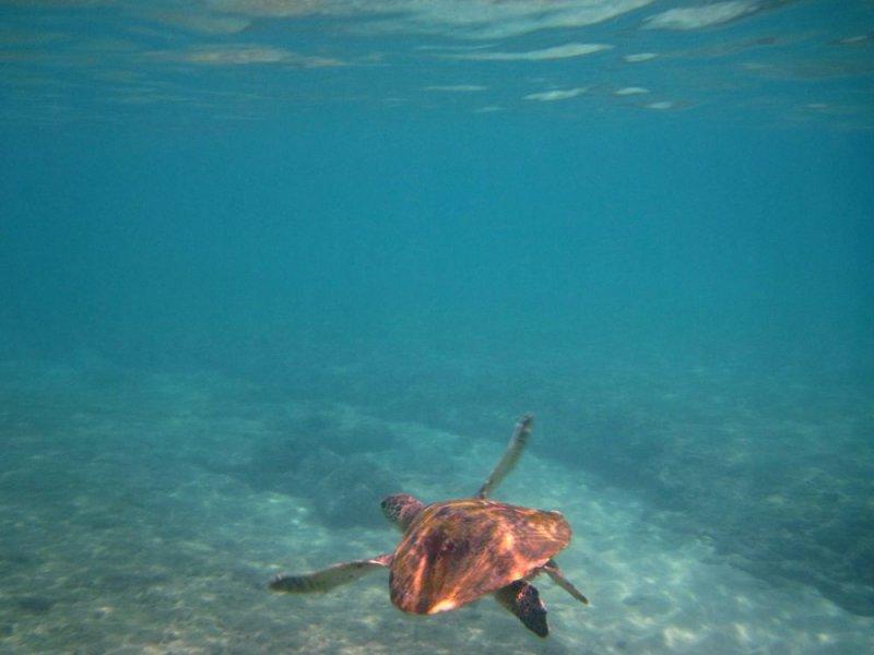 Ras Al Hamra turtle