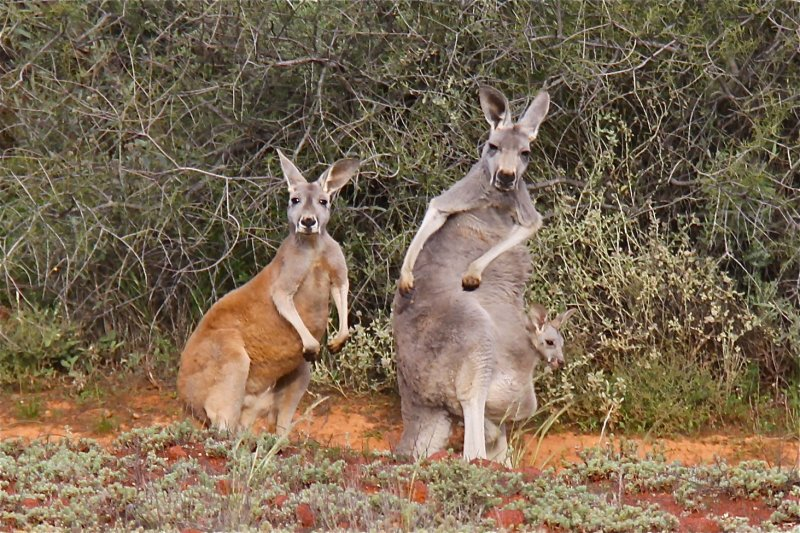 Mum, delinquent aged Son and a Joey in the pouch!